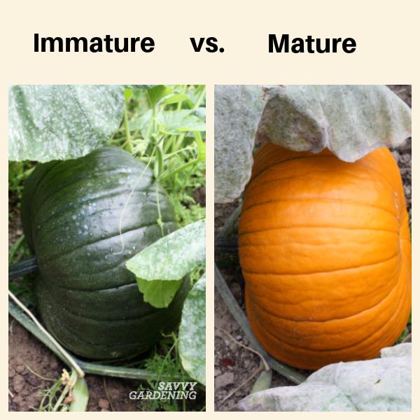 How to grow pumpkins in a home garden