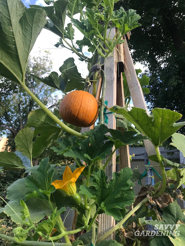 How variety impacts the ripening rate of pumpkins
