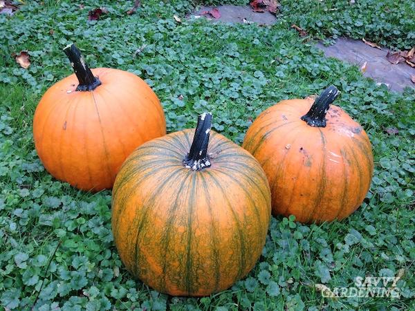 Growing pumpkins in a garden