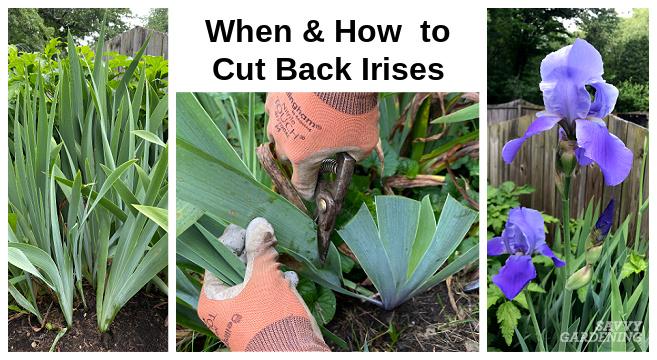 When to trim back iris foliage