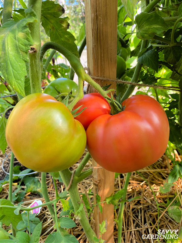 learn when to harvest tomatoes
