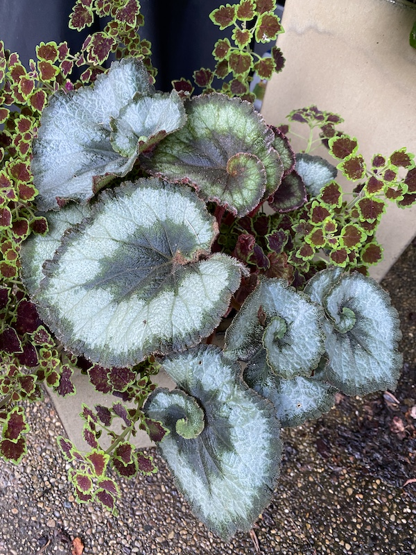 How to grow Begonia Escargot in garden beds and containers