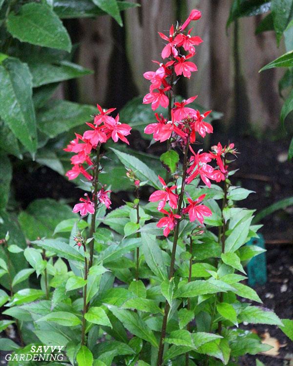 cardinal flower in a garden