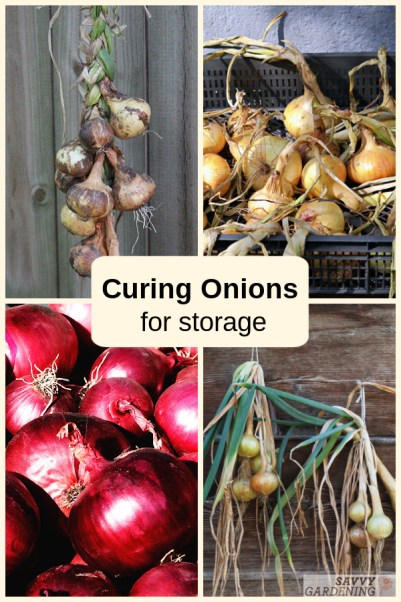 Learn how to cure onions and store them for the long-term