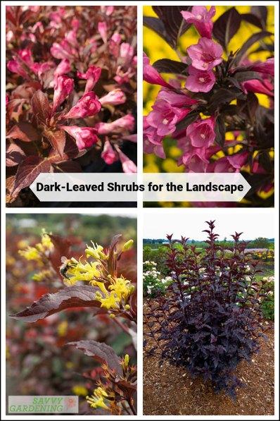 discover dark-leaved shrubs for the landscape