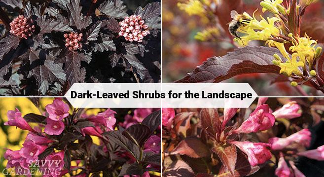 dark-leaved shrubs for the landscape