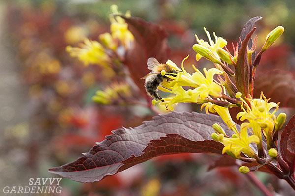 A bee on a Nightglow diervilla