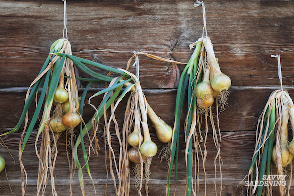 Curing onions by hanging them to dry