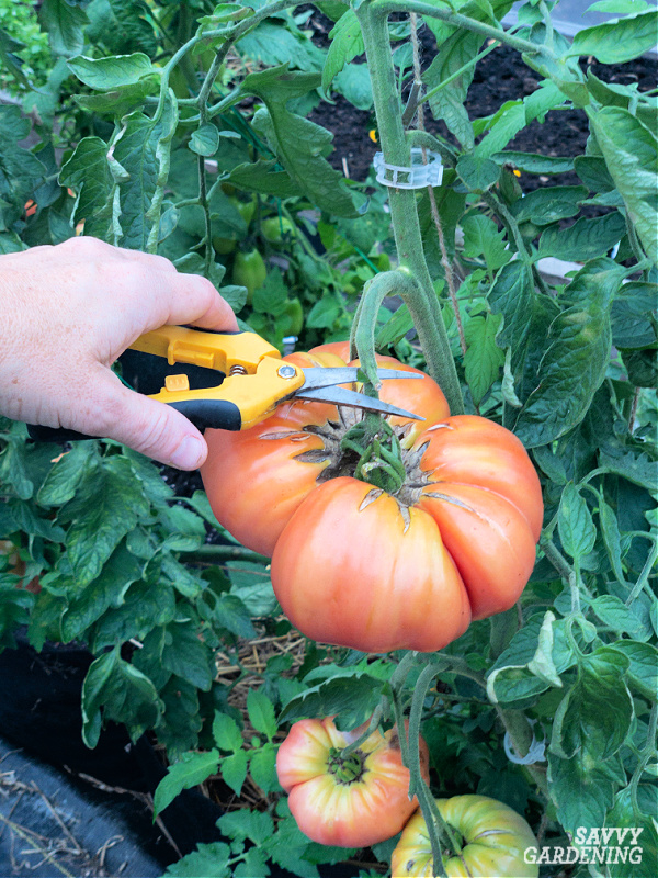 harvesting a tomato with pruners