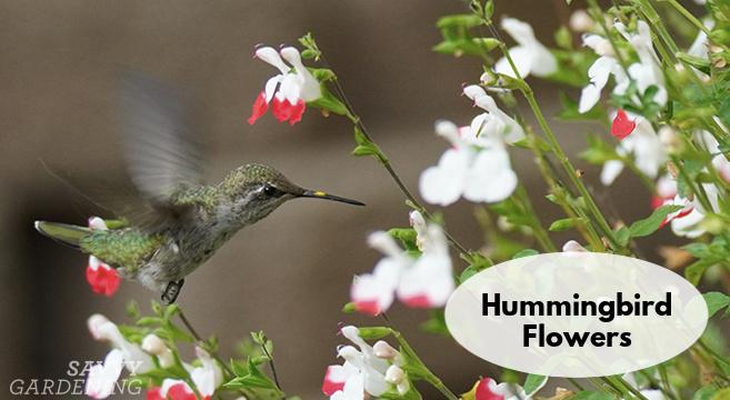 hummingbird flowers for your garden
