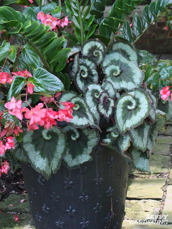 Overwintering Rex Begonias
