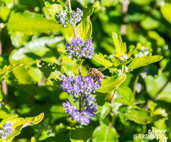 Beekeeper caryopteris