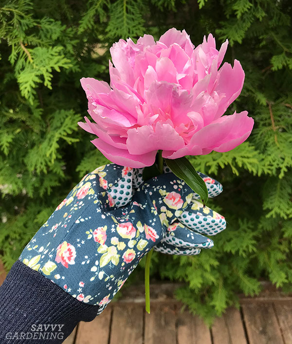 a cut peony for a vase