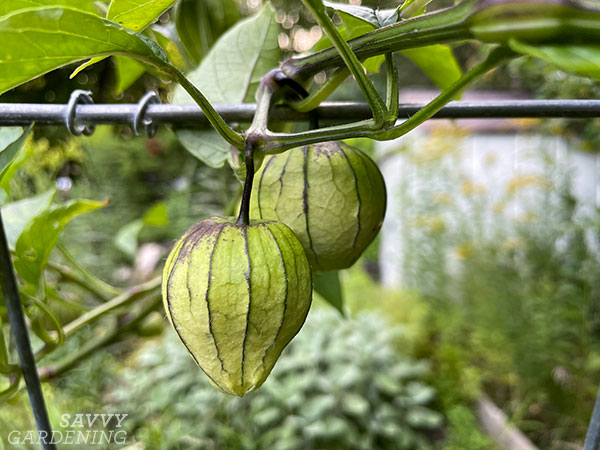 a plant support holding up a tomatillo plant