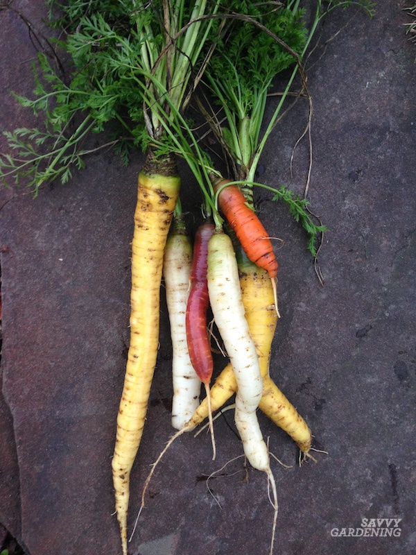 Types of carrots and when to pick them