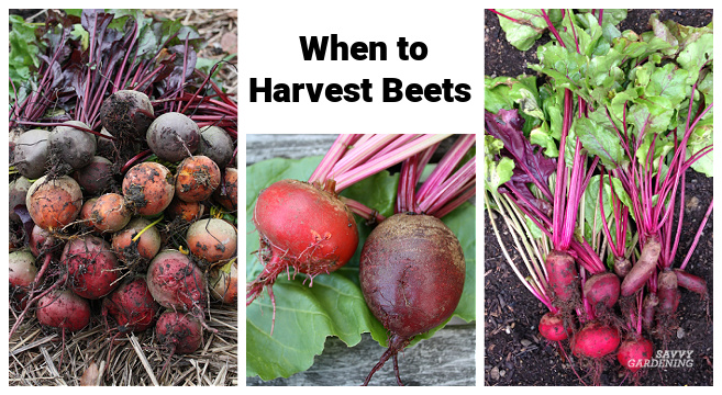 Timing your beet harvests