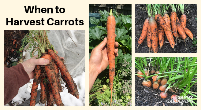 Picking carrots: The best time to dig