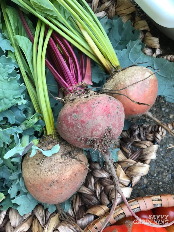 The best time to pick fresh beetroots