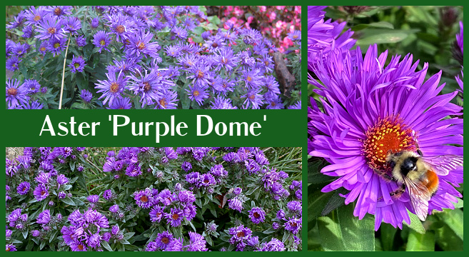 Growing Aster Purple Dome