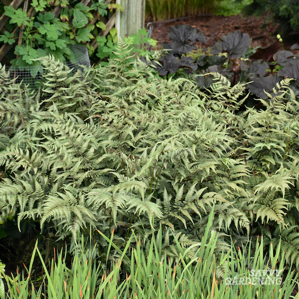 Godzilla painted fern is a great perennial for the shade