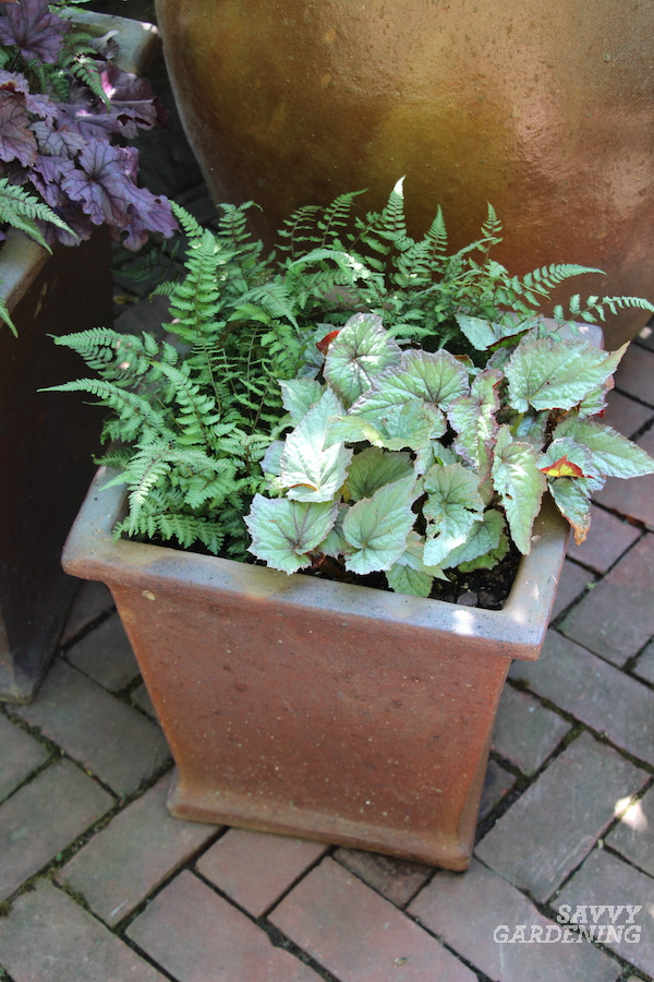 How to grow ferns in pots