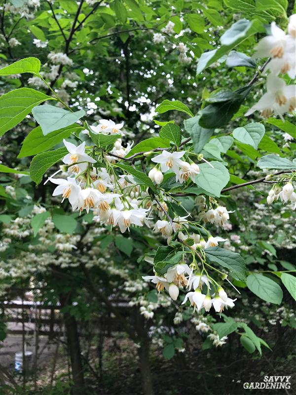 Japanese snowbell tree