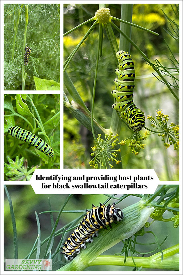 identifying and providing host plants for black swallowtail caterpillars