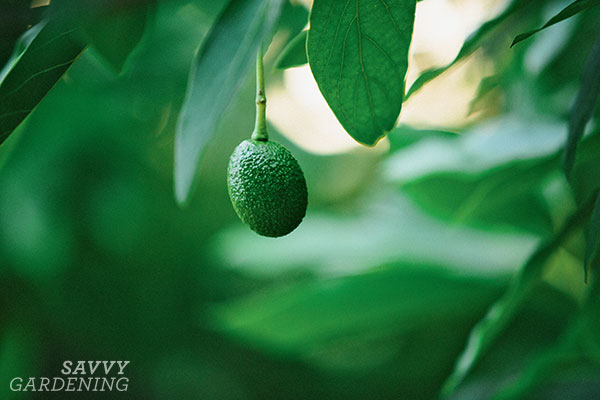 Gardeners in warm-winter climates can grow avocados without risk of frost damage.