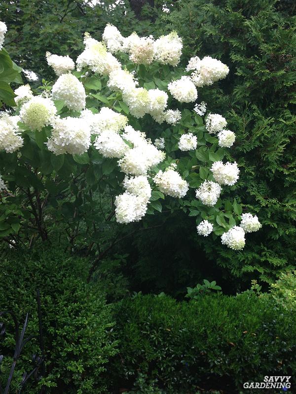 hydrangea grandiflora tree