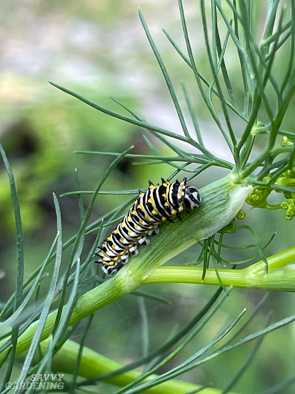 a middle instar stage of a black swallowtail caterpillar