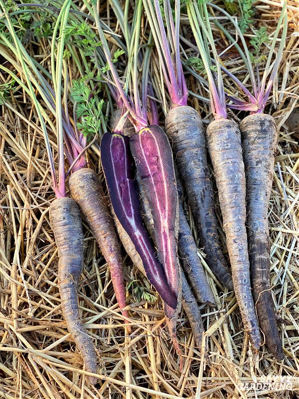 purple carrot harvest