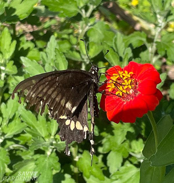 a black swallowtail butterfly on a zinnia
