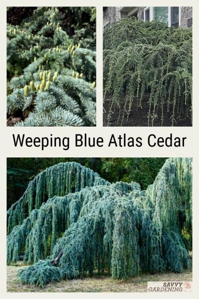 Weeping blue atlas cedar is a beautiful evergreen tree for the landscape.