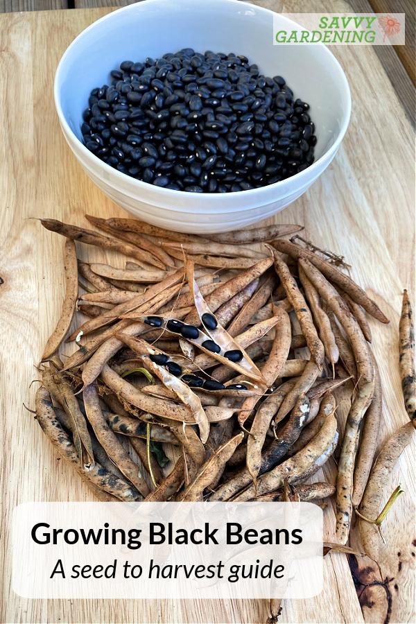 growing black beans in a garden