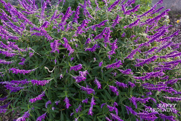 How to grow the Mexican bush sage plant
