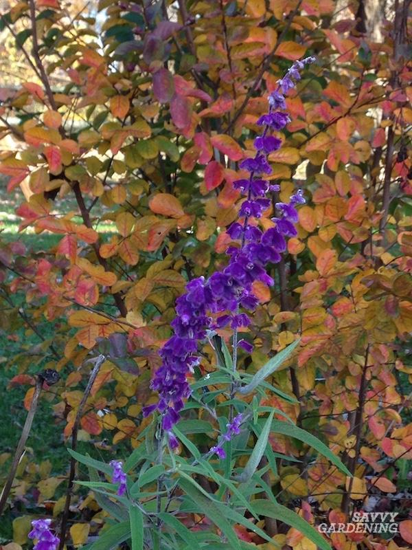 Tips for growing Salvia leucantha