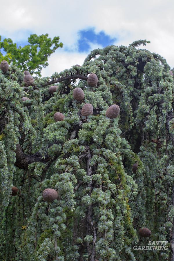 A unique tree for the garden