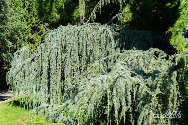 Weeping evergreen tree for the garden