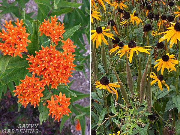 butterfly weed in bloom and at the end of the season