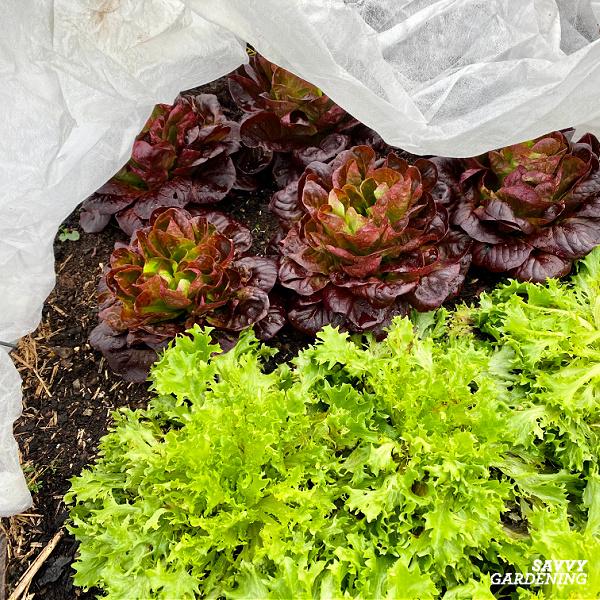 winter lettuce in a garden
