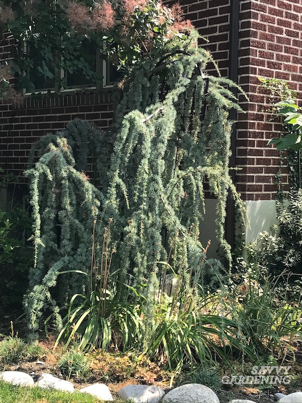 The best weeping evergreen tree for the garden