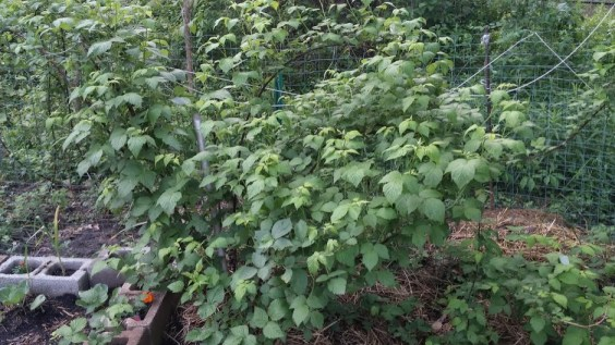 Black raspberries taking over my garden