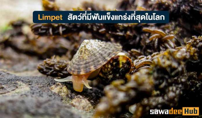 Limpet
