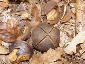 Hickory-Nut