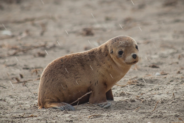 Brad Leue Seal Pup In The Rain