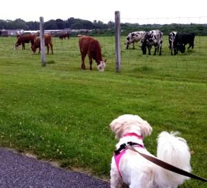 coco cows