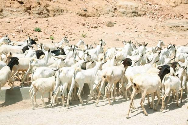 A herd of goats in Bodaale, Somaliland