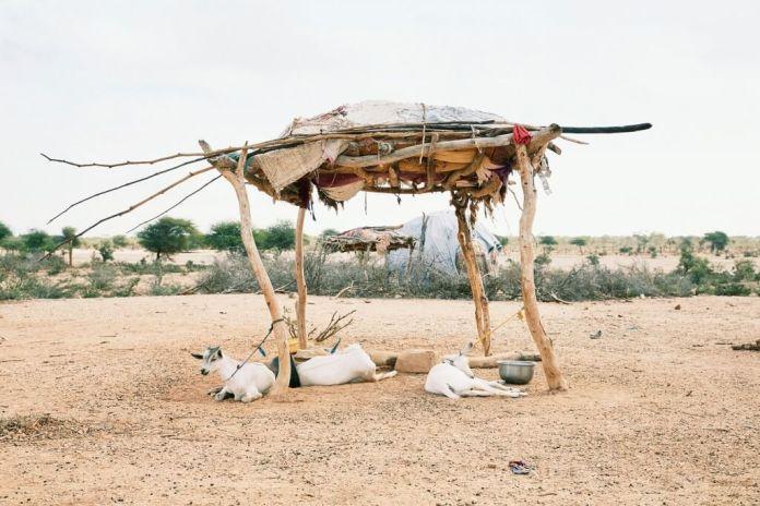 Goats lie under a shelter outside Gargara village in Somaliland