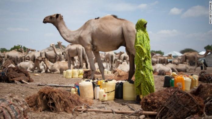 Somali_Camel2