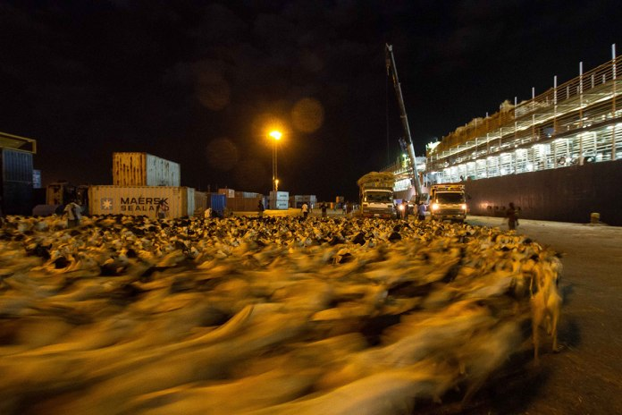 The Livestock Are Loaded Onto Vast Carriers From The Same Jetty Amid Containers And Shipping Equipment. The Boats Can Carry More Than 65,000 Animals At A Time, Which Are Loaded Onboard At Night To Avoid Scorching Daytime Temperatures. [Ashley Hamer/Al Jazeera]